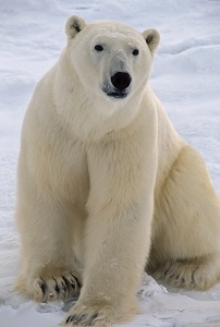 polar bear on ice sheet